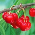 果樹苗 サクランボ 紅きらりP 1株