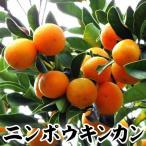 果樹苗 カンキツ ニンポウキンカン特等苗 1株 / 苗木 果物 フルーツ苗