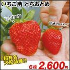 いちご苗 とちおとめ 6株 / イチゴの苗 いちごの苗 苺の苗 いちご 苗 親株