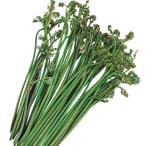 山菜苗 ワラビ 10株