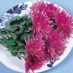 山菜苗 食用菊 もってのほか 2株 / エディブルフラワー 食用花