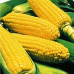 野菜たね トウモロコシ F1シュガーポット   1袋(30ml) / 種 タネ