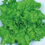 野菜たね レタス 青ちりめんレタス 1袋(3ml)