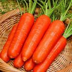 種 野菜たね ニンジン F1紅美人 1袋(5ml) / 野菜のタネ 野菜 種子 にんじん 人参 【YTC25】 国華園