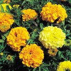 花たね アフリカンマリーゴールド矮性混合 1袋(100粒)