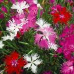花たね カワラナデシコ混合 1袋(300粒)