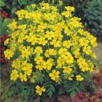花たね メキシカンマリーゴールド黄 1袋(200粒)