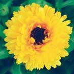 花たね 芯黒キンセンカ 1袋(300mg)