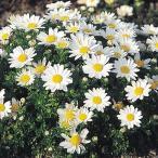 種 花たね クリサンセマム パルドーサム 1袋(150mg)/タネ たね