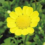 種 花たね クリサンセマム ムルチコーレ 1袋(150mg)