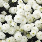種 花たね アキレア ダブルダイアモンド 1袋(10mg)