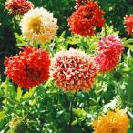 花たね ガイラルディア ラズルダズルミックス 1袋(約30粒)