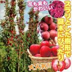 果樹苗 リンゴ(バレリーナRツリー) メイちゃんの瞳R(メイ17P) 3株