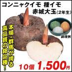 種芋 コンニャクイモ 赤城大玉(2年生) 10個