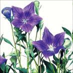 花たね キキョウ紫 1袋(70粒)