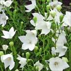花たね キキョウ白 1袋(70粒)