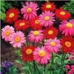花たね 種 多年草 赤花除虫菊混合 1袋(150mg) / タネ 種 花壇 ガーデニング 国華園