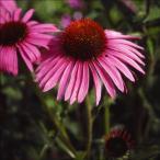花たね 多年草 エキナセア赤 1袋(50粒)