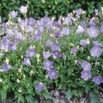 花たね 多年草 カンパニュラ カルパチカ 1袋(1000粒)