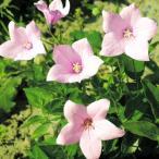 花たね キキョウ ピンク 1袋(70粒)