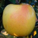 果樹苗 リンゴ もりのかがやきP 1株