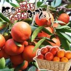 果樹苗 カンキツ 小原紅早生 3株 / 苗木 果物 フルーツ苗 みかん ミカン 蜜柑