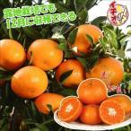 花と緑 国華園で買える「果樹苗 カンキツ 西南のひかりP 1株 / 苗木 果物 フルーツ苗 みかん ミカン 蜜柑」の画像です。価格は2,494円になります。