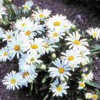 花たね 矮性シャスタデージー 1袋(150mg)