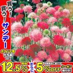 種 花たね 多年草 クナウティア メルトンパステルミックス 1袋(25粒) / 花種 花の種 はなたね