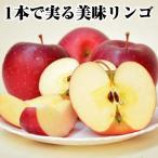 果樹 苗木 林檎 リンゴ苗 りんご 国華園