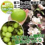 果樹苗 リンゴ(バレリーナRツリー) ボレロR 1株