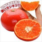 果樹苗 カンキツ みはやP(津の望×No.1408) 1株 / 果物 フルーツ苗 みかん ミカン 蜜柑