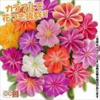 花 苗 レウィシア エリーゼミックス(花色無選別) 8株