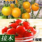 接木野菜苗 ミニトマト 薄皮ミニトマトセット 2種4株(各2株)