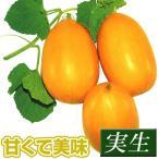 実生野菜苗 マクワウリ 金俵 4株