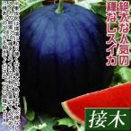 接木野菜苗 種なしスイカ 大玉 接木F1種なしサンバ 1株