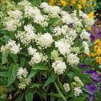 花たね 多年草 アスクレピアス ミルクメイド 1袋(50粒)