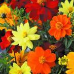 花たね 鉢・花壇向き コスモス ブライトネスミックス 1袋(30粒)