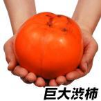 果樹苗 カキ 太天P 1株 / 果物苗 フルーツ苗