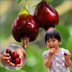 果樹苗 トロピカルフルーツ セレージャ 1株