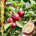 果樹苗 ストロベリーグァバ 1株