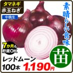 玉ねぎ苗 レッドムーン 100本 / 赤たまねぎ たまねぎ タマネギ 玉葱 玉ネギ 国華園