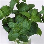 野菜たね 種 ハーブ ペパーミント 1袋(0.2ml) / 野菜の種 国華園