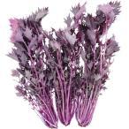 種 野菜たね 菜類 F1紅みずな 1袋(2ml) / みずな 水菜 野菜の種 国華園