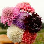 種 花たね 西洋松虫草混合 1袋(300mg)