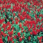花たね クリムゾンクローバー 1袋(500mg)