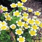 種 花たね リムナンテス 1袋(400mg)/タネ たね