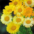 種 花たね キンセンカ シトラスミックス 1袋(20粒)
