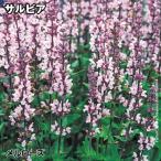 花たね 鉢・花壇向き 宿根サルビア メルローズ 1袋(20粒)