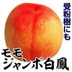 果樹苗 モモ ジャンボ白鳳 1株 / 苗木 桃 もも 受粉樹 甘い 1本で ジャンボハクホウ